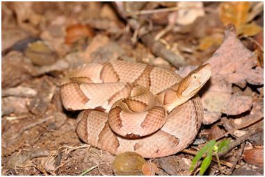 Copperhead Snakes and Your Pets