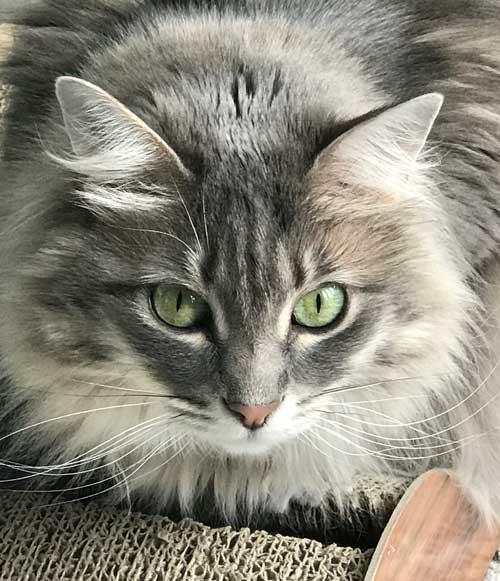 beautiful cat in Kennesaw, GA