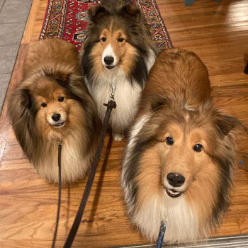 3 dogs in Kennesaw looking at their dog walker